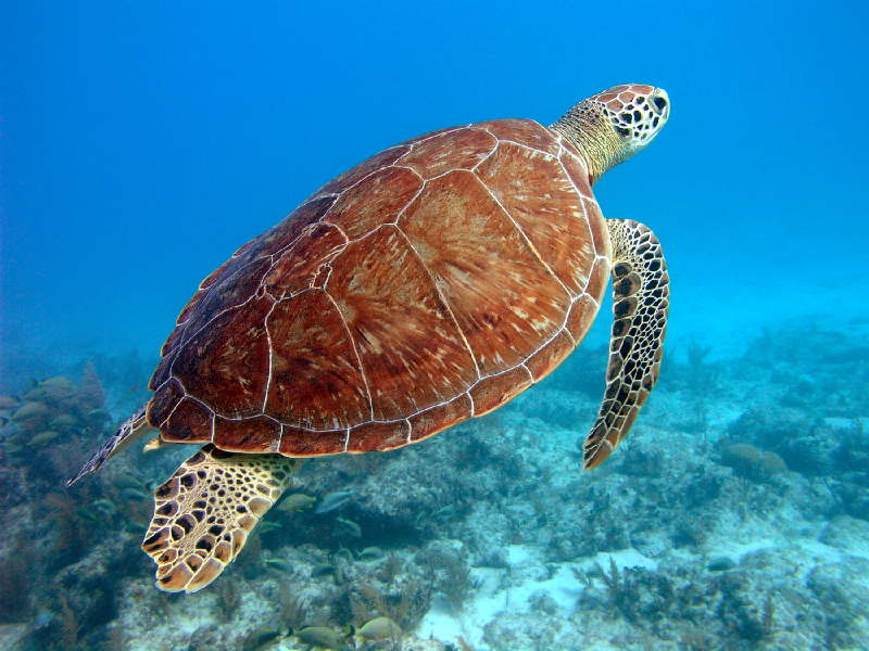 beautiful-florida-sea-turtle_2_800