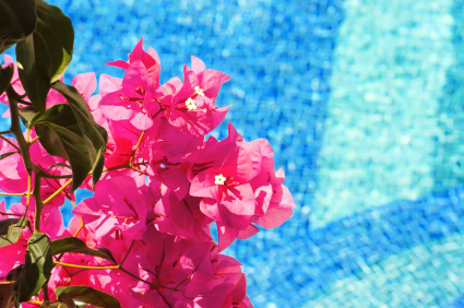 bouganvilla_and_pool_425