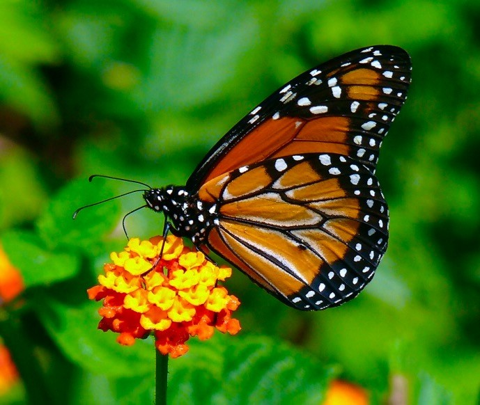 attracting butterflies to your south florida garden - Florida Butterfly Garden
