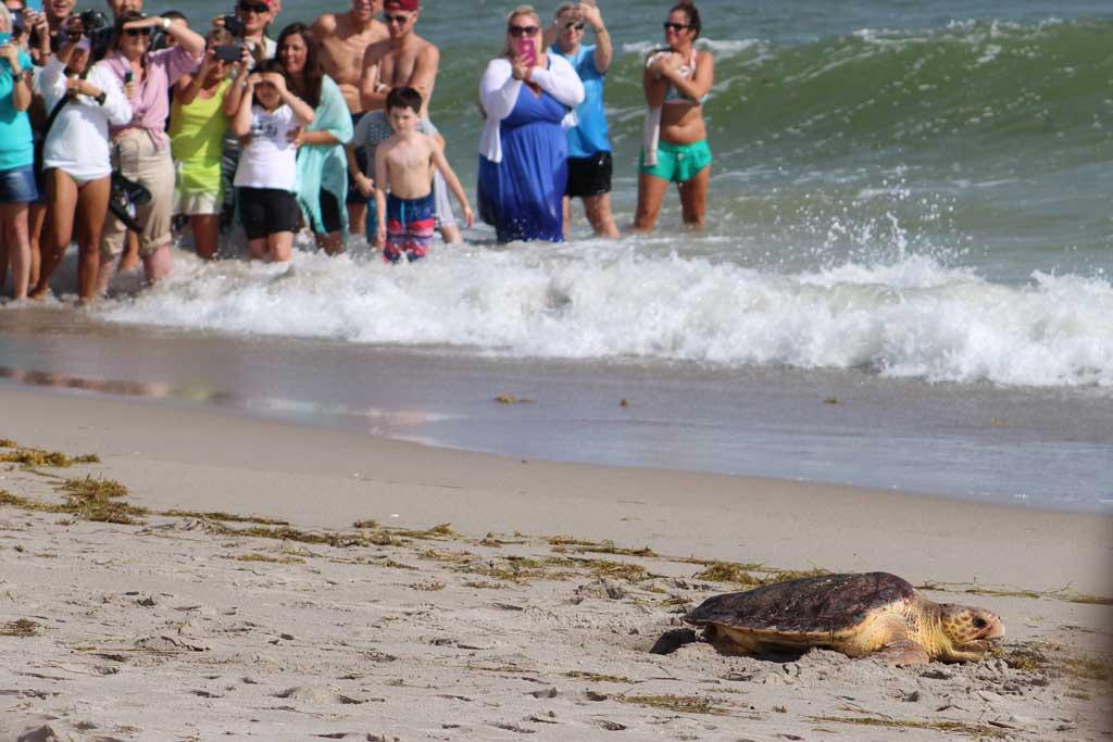 Loggerhead Marine Life Center releases 5 sea turtles