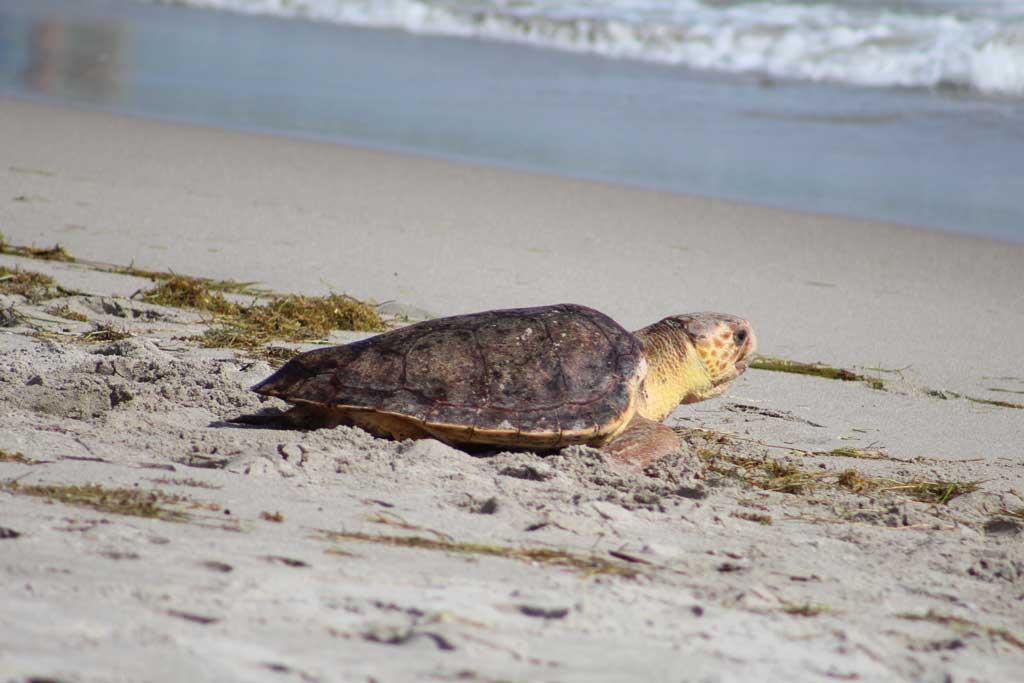 Loggerhead Marine Life Center Turtle going back to the sea