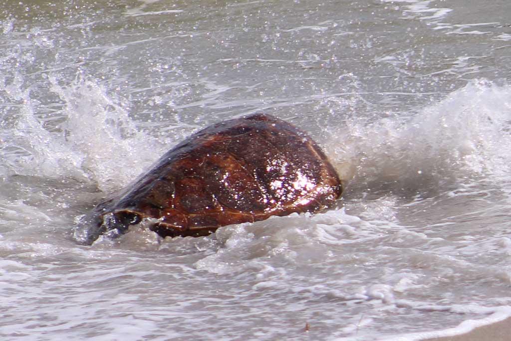 Sea Turtle splashes in the ocean