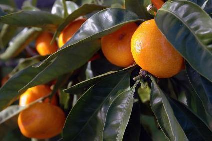 Famous Florida Oranges