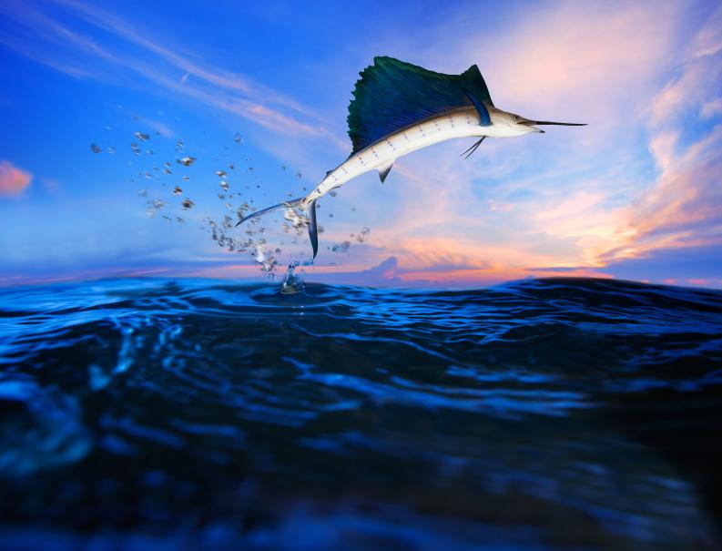 Sailfish Season