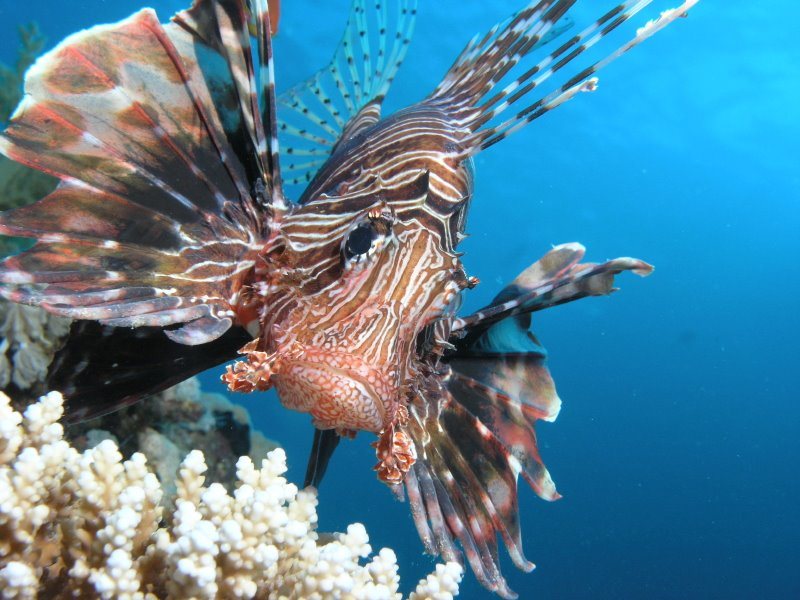 lionfish_800