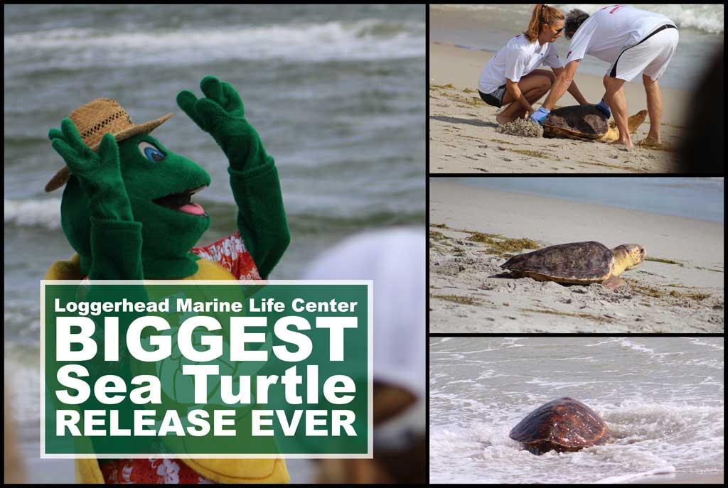 Loggerhead Marine Life Center - 5 Turtle Release