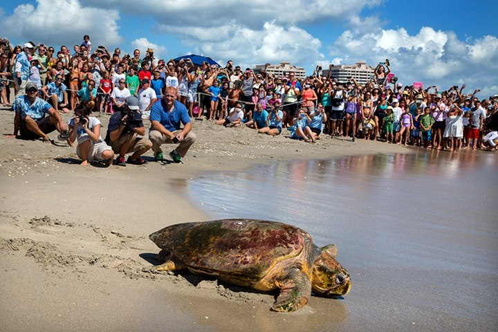 Thanks To The Juno Beach Loggerhead Marinelife Center Another Sea Turtle Has Returned Home Into Ocean Lmc Is