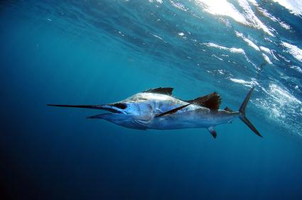 sailfish_425