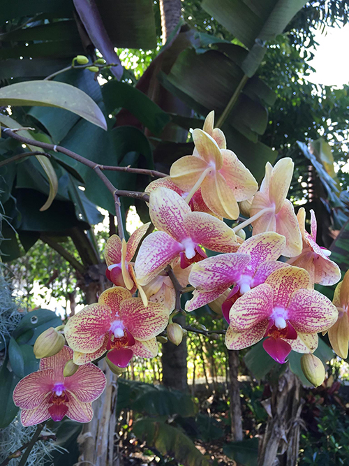 yellow_pink_orchid_667